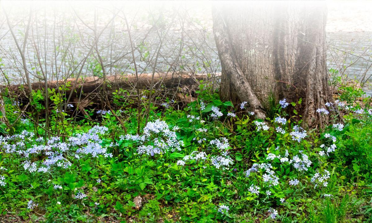 blue phlox wildflowers on the ground