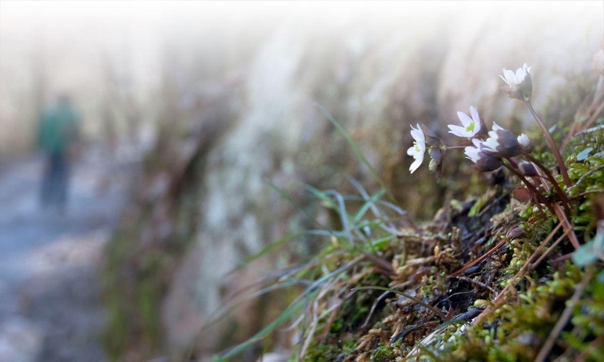 small hepatica wildflowers in moss