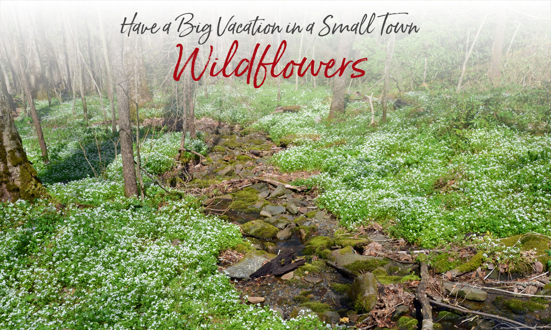 Wildflower blooming calendar NC Smoky Mountains Bryson City