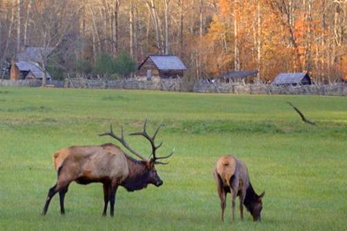 Elk Pair Grazing