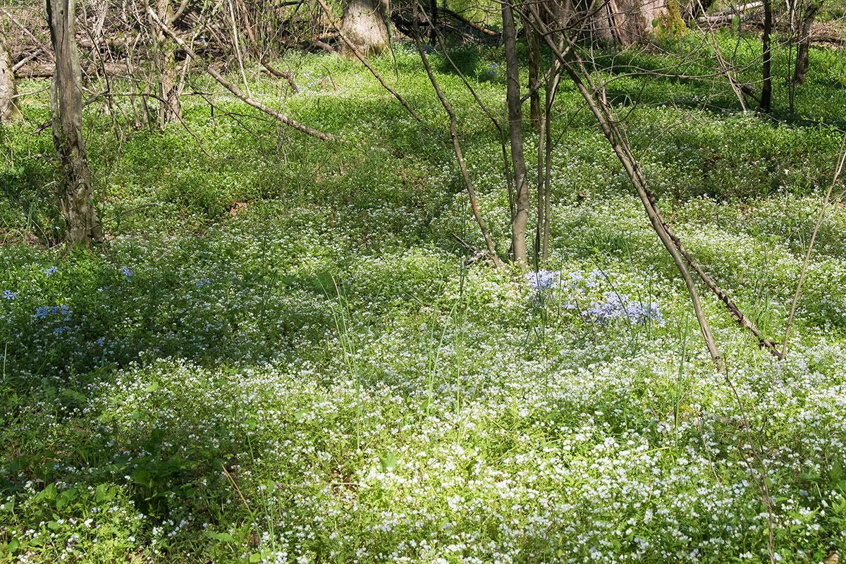 Spring Ephemerals Are The Big Kahuna of Smoky Mountains Wildflowers