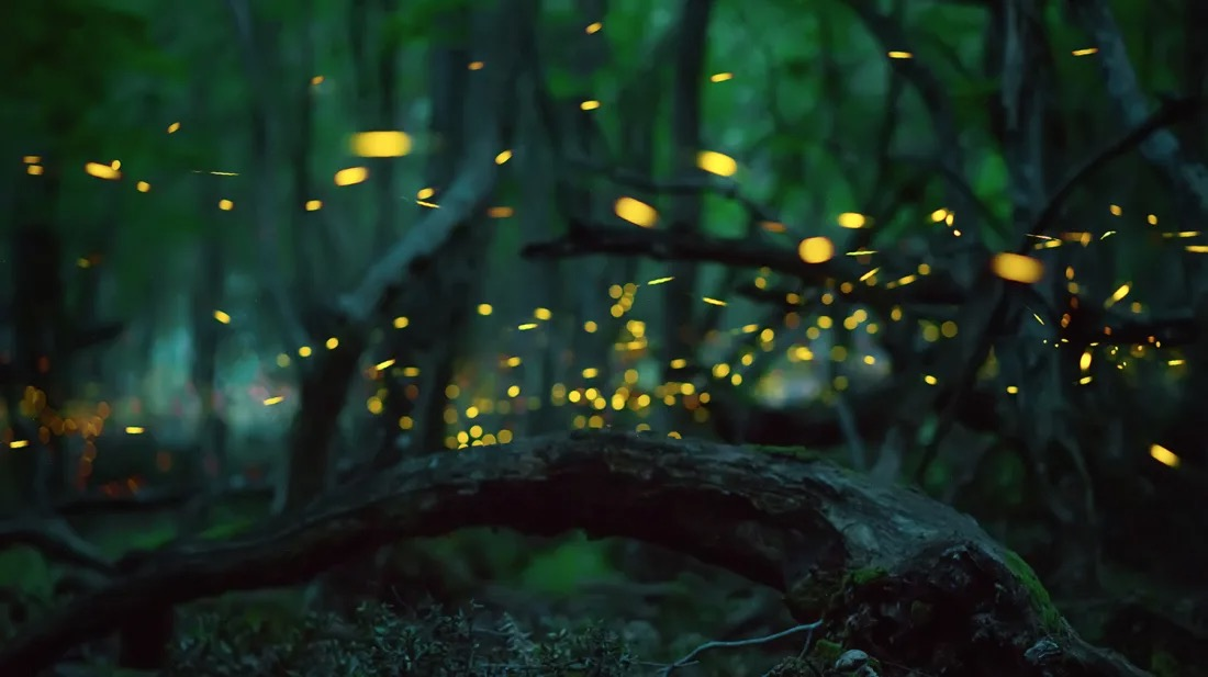 Synchronous Fireflies – It's The Toughest Ticket in the Smokies