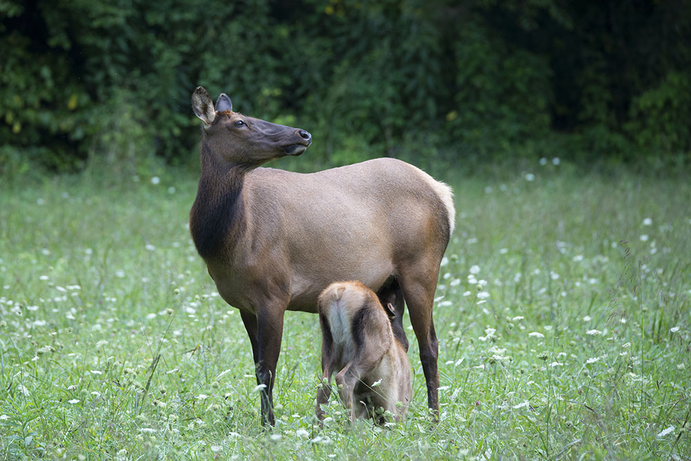 How a Tenacious Elk Cow Helped Assure the Smokies Herd's Future